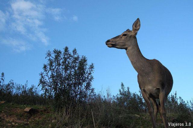 ciervo en el Parque Nacional de Monfragüe