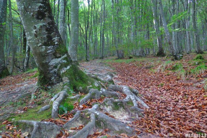 Hayedo en la ruta de ascenso al pico Tologorri.