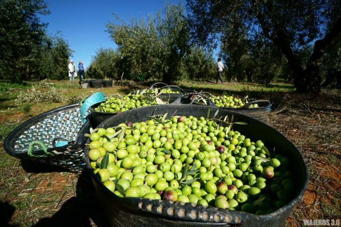 Paisajes del olivar en Hacienda Guzmán, oleoturismo en Sevilla