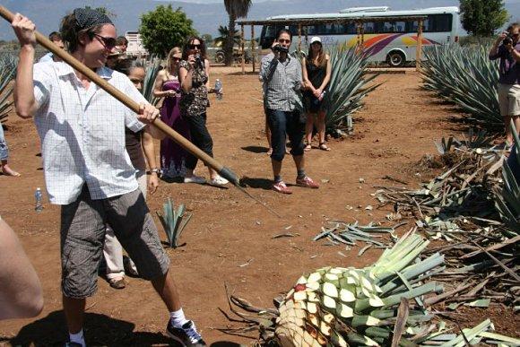 Al elaborar el mezcal, tras arrancar el agave hay que deshojar la piña