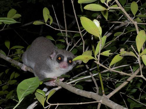 Lemur, Kirindy - Madagascar