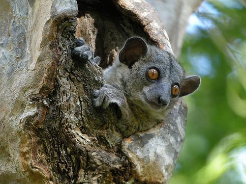 Lemur, Kirindy Forest