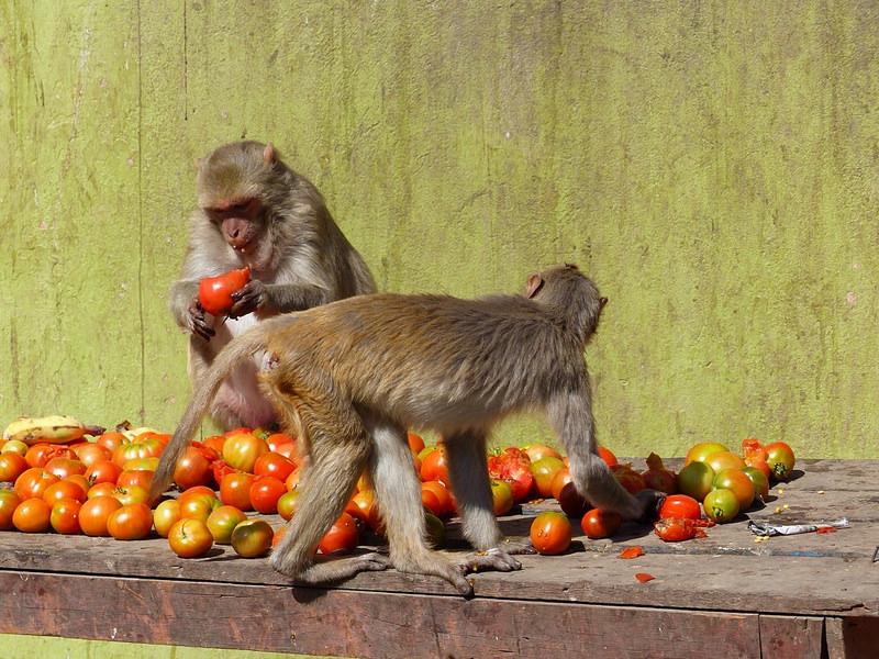 Macacos disfrutando de la comida
