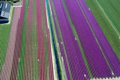 Fotos aéreas de los campos del tulipán de los Países Bajos