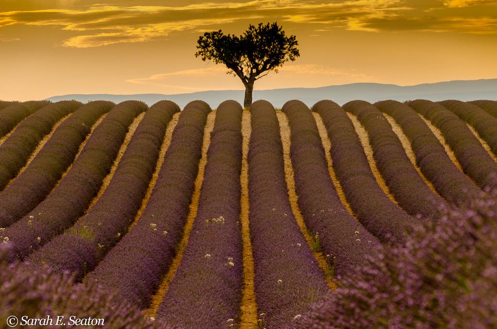 Campos de lavanda: Provence, Francia