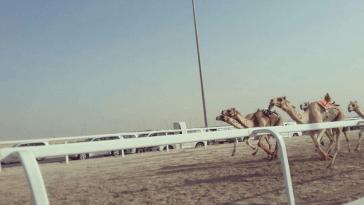 Carrera de camellos en Qatar