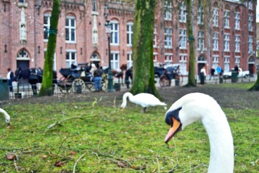 Cisnes césped comiendo Brujas