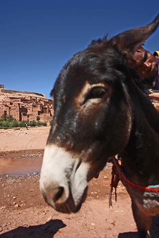 Cara burro transporte río Kasba Ait Benhaddou Marruecos