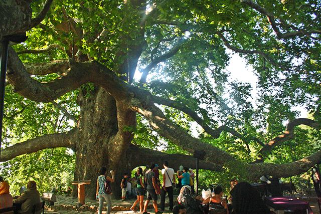 Árbol sagrado Bursa Estambul