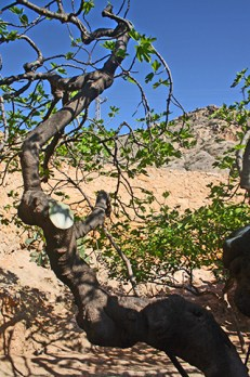 Huerto árbol Casa Natal Miguel poeta Hernández Orihuela
