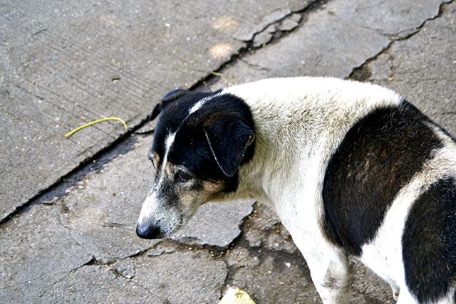 Perro abandonado Puente sobre el río Khwae