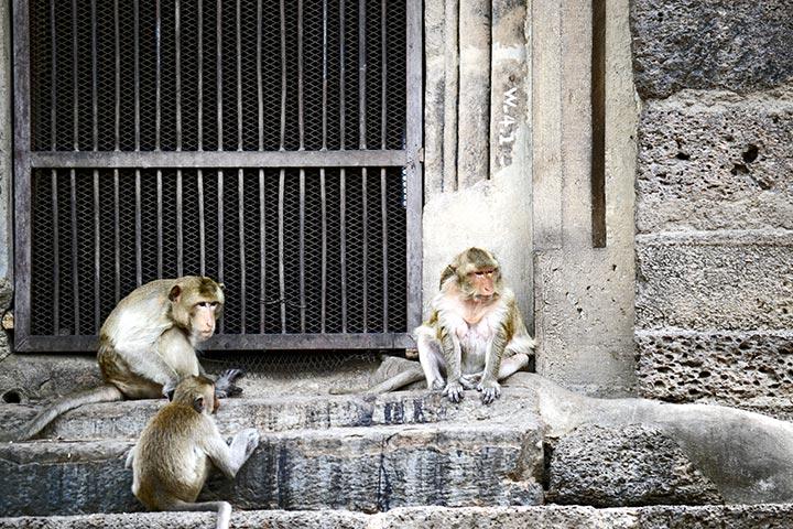 Monos debatiendo puertas templo Lopburi