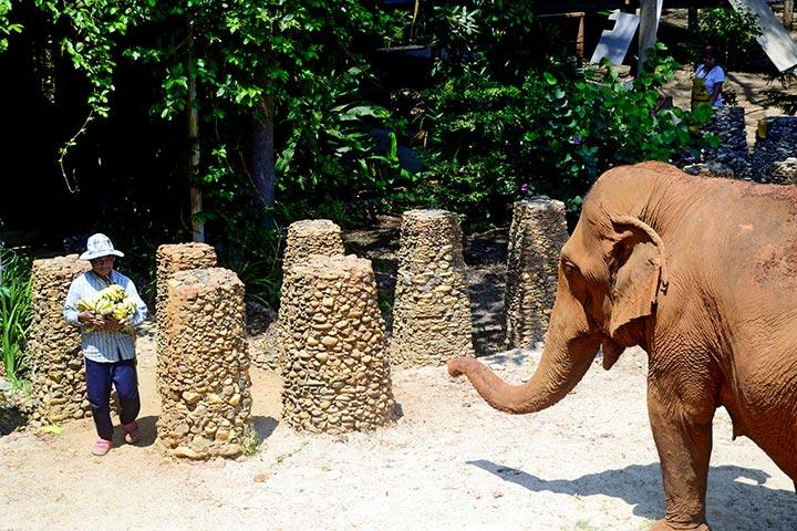 Cuidador tailandés plátanos elefante Elephant Nature Park Chiang Mai