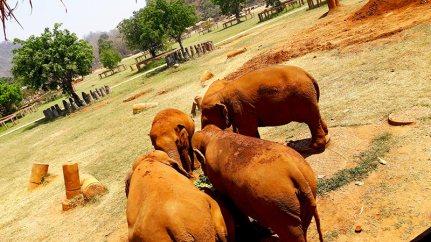 Elefantes reunidos comiendo frutas Elephant Nature Park Chiang Mai