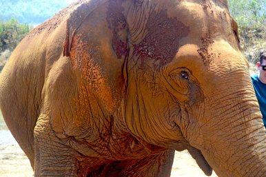 Mirada elefante hembra Elephant Nature Park Chiang Mai