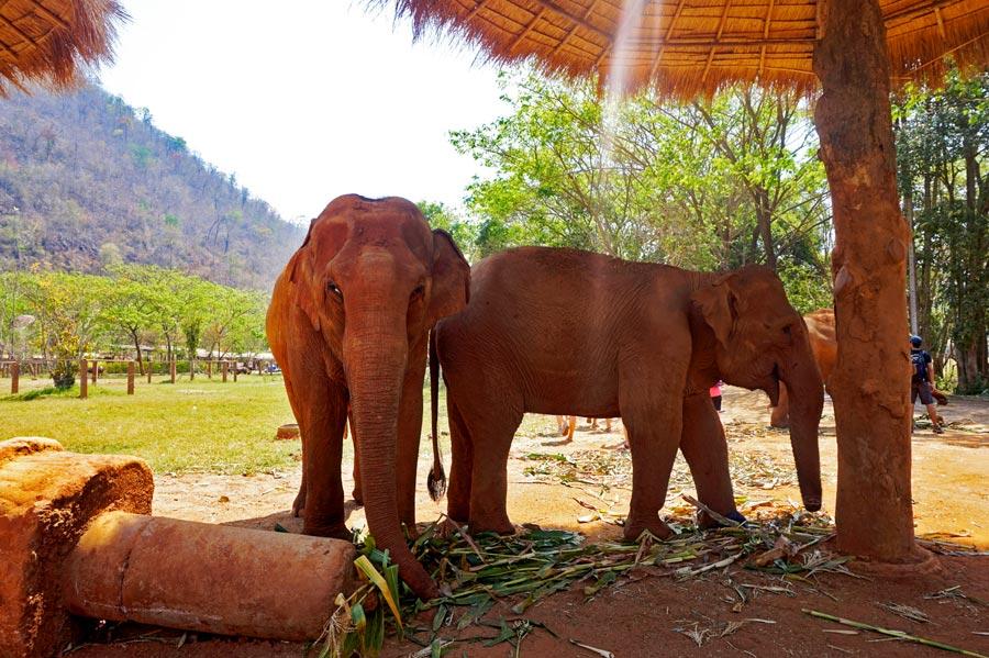 Elefantes comiendo bambú sombrilla Elephant Nature Park Chiang Mai