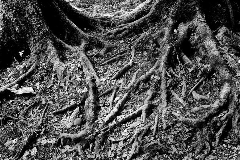 Raíces árbol Baan Dam Museum Chiang Rai