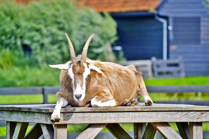 Cabra marrón de frente mirando Zaanse Schans
