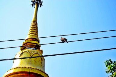 Paloma cable electricidad chedi pan de oro Chiang Mai