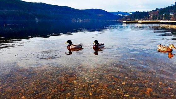 Patos orilla lago Titisee bosques Selva Negra Alemania