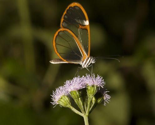 mariposa costa rica