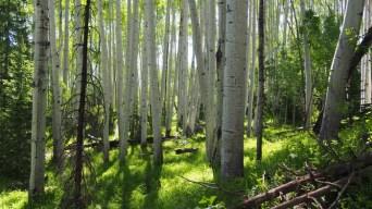 Bosque de Populus Tremuloides