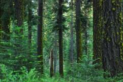 Bosque en la Sierra Nevada de California