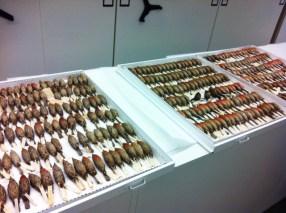 Ejemplares de Carpodacus mexicanus en el Museum of Comparative Zoology de Harvard