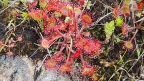 Una planta carnívora muy común en estos lares: Drosera rotundifolia