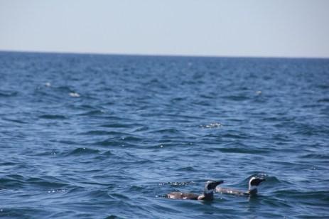 Pingüino de Magallanes (Spheniscus magellanicus) en la Bahía de Puerto Madryn .