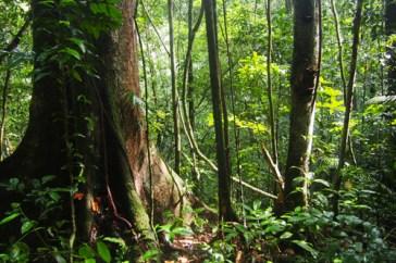 Bosque en la estación de Pararé en Nouragues