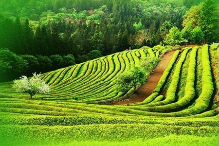campo-de-te-verde