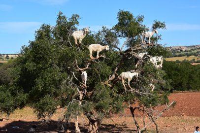 Cabras subidas a un Arbol de Argán para comer el fruto. Marruecos