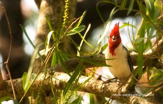 cardenal-formosa