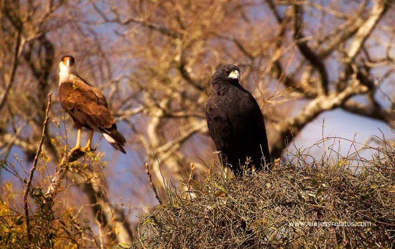 aves-rapaces-corrientes