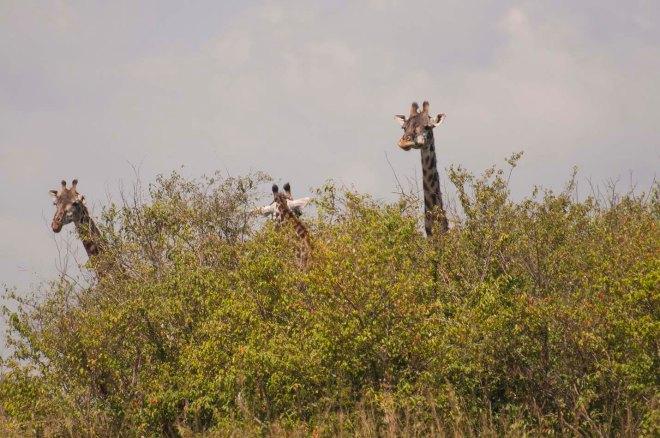 masai-mara-jirafas-2