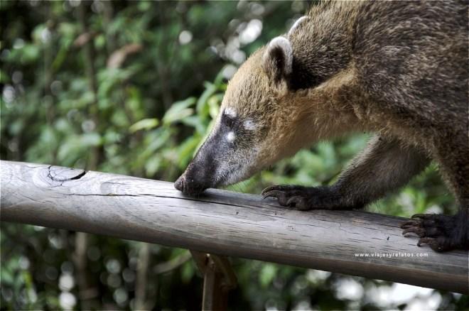 coati-iguazu