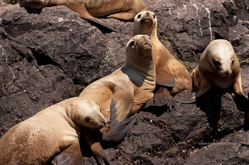 lobo-marino-patagonia