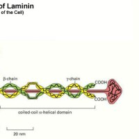 Louie, Laminin, and a Leap - Religious Devotion and Accurate Facts