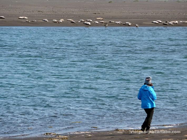 Colònia de foques a la Península de Vatnsnes
