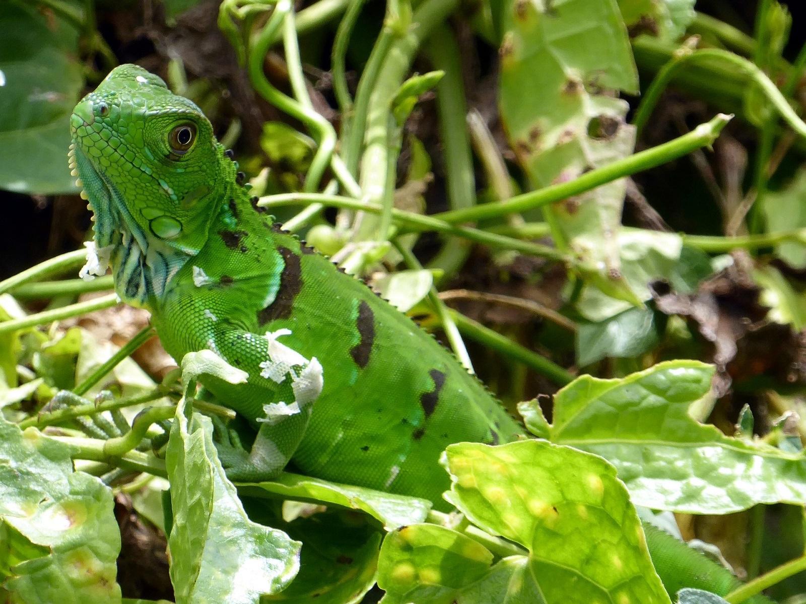 iguana tortuguero