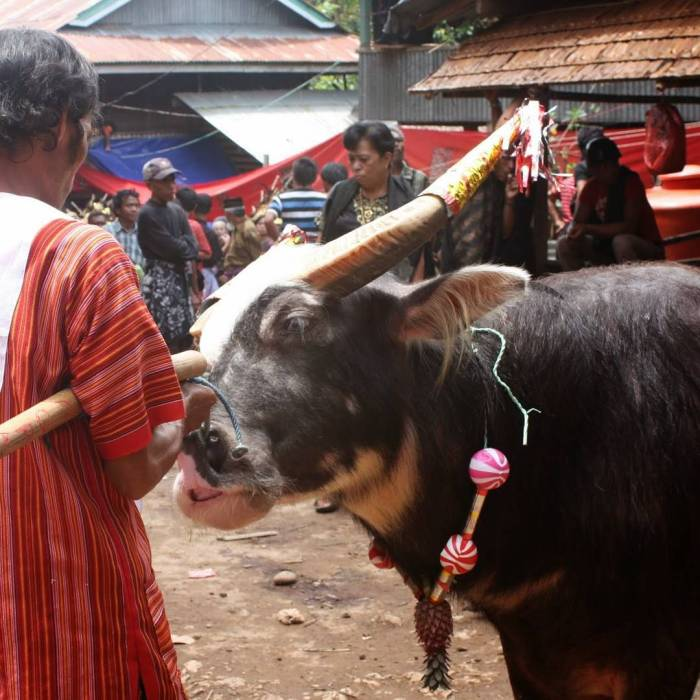 búfal Toraja