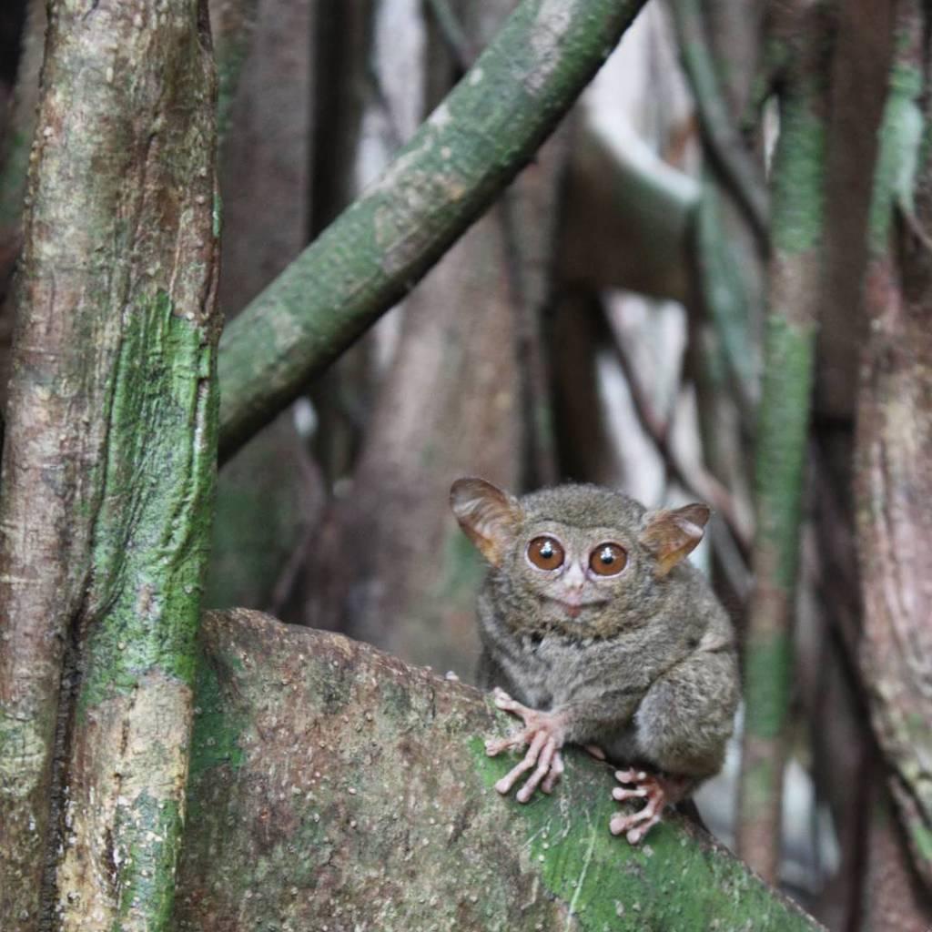 Tarser a Parc Tangkoko #Sulawesi #Viatjarpelmon