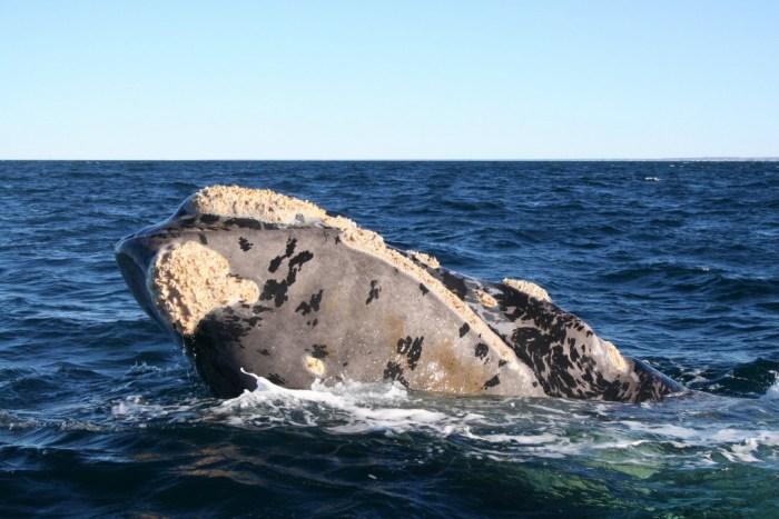 balena austral