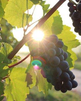 History - Purcari - Wineyard