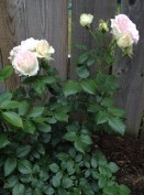 Eden rose, which I purchased in spring of 2016. It is how it looked pretty shortly after I have planted it. Then it stopped flowering for a while concentrating on making roots and growing much bigger.