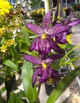 Orchid, Vandermeer Nursery.
