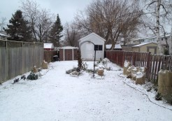"Our garden in the middle of December 2016, already covered in snow. There was some more snow over the weekend and my little ""Rocky Diamond - Blue Heart"" is still blooming."