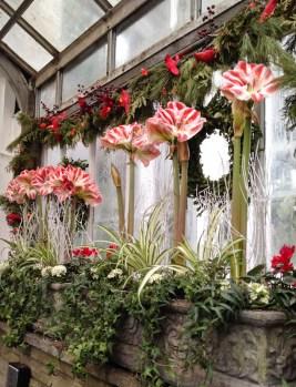 Flowering amaryllis, Christmas show, Allan Gardens, Toronto, Canada.