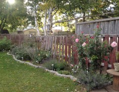 """Here you can see Memorial Day rose in our garden on October 9, 2016. Isn't it huge for a so called """"tea rose""""? The old fence spoils the view a bit, but I hope we can finally have it replaced this year."""